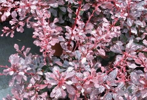 Berberis thunbergii 'Pink Queen'