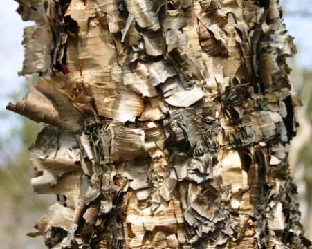 Betula davurica