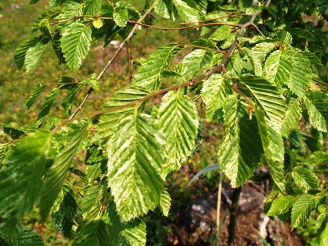 Carpinus betulus 'Foliis Argenteovariegatis Pendula'