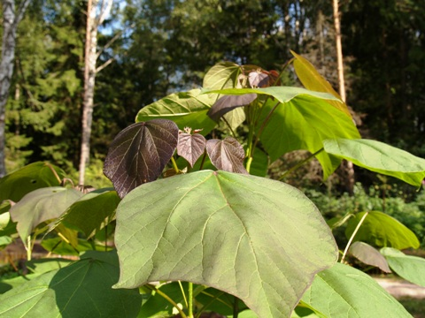 Catalpa x erubescens 'Purpurea'