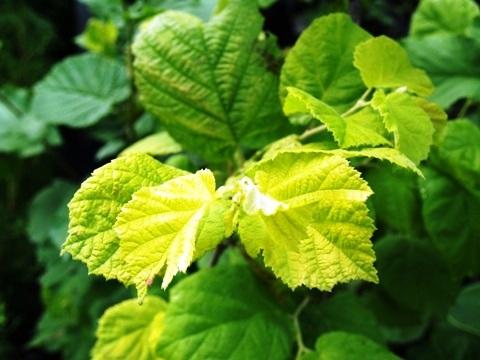 Corylus avellana 'Aurea'