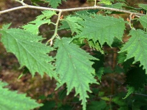 Corylus avellana 'Heterophylla'