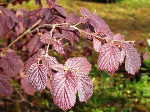 Corylus avellana 'Purpurea'