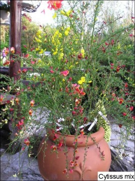 Cytisus x praecox 'Red Wings'