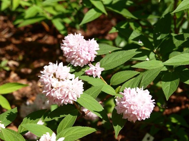 Deutzia x hybrida 'Pink Pom-Pom'