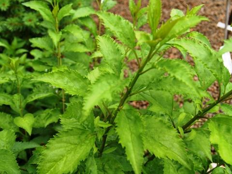 Forsythia x intermedia 'Maluch'