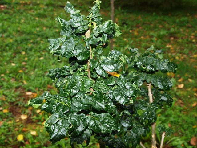 Fraxinus excelsior 'Crispa'