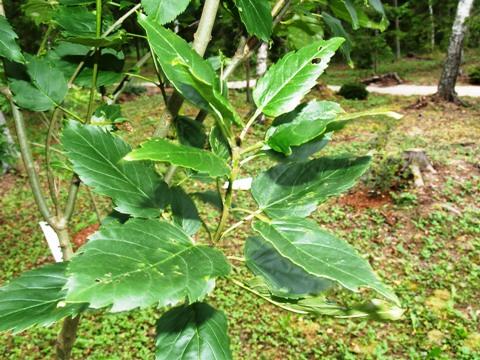 Fraxinus excelsior 'Diversifolia'