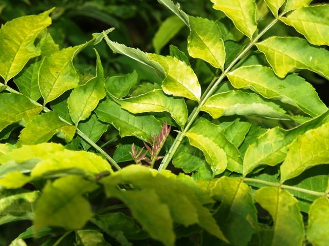 Fraxinus excelsior 'Foliis Aureis'