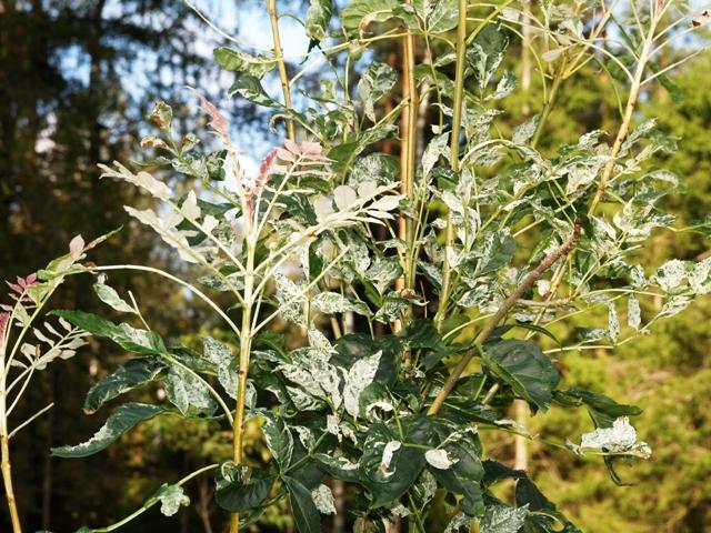 Fraxinus excelsior 'Variegata'