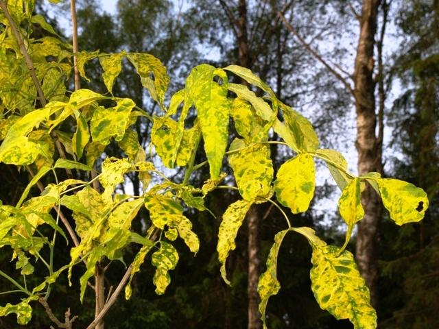 Fraxinus pennsylvanica 'Aucubifolia'