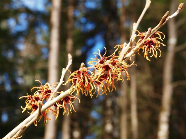 Hamamelis x intermedia 'Feuerzauber'