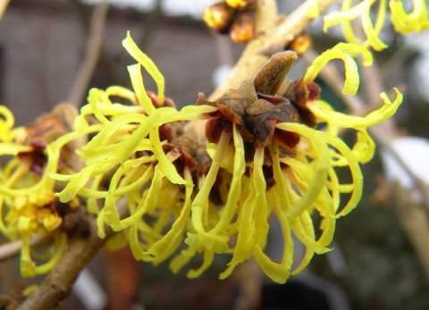 Hamamelis x intermedia 'Primavera'