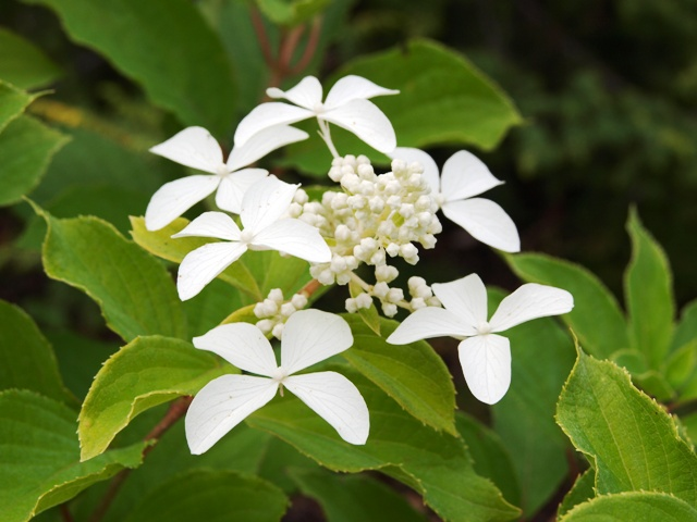 Hydrangea paniculata 'Great Star ®'