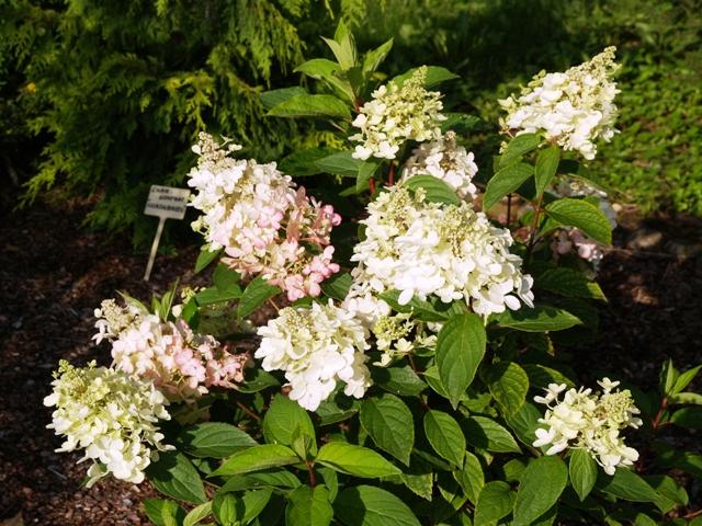 Hydrangea paniculata 'Pinky Winky®'