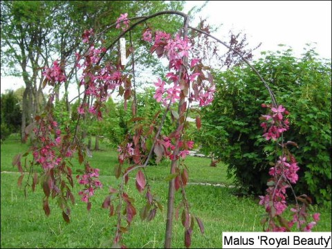 Malus hyb. 'Royal Beauty'