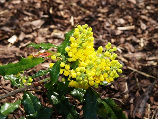 Mahonia aquifolium 'Donewell'