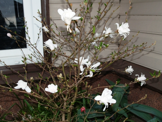Magnolia hyb. 'Betty'