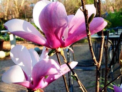 Magnolia hyb. 'Jane'