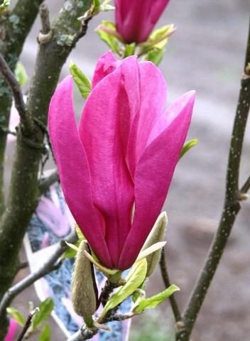 Magnolia hyb. 'Susan'