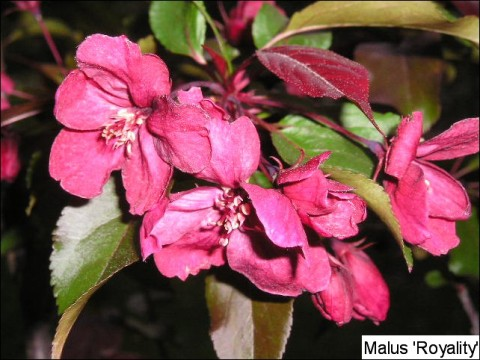 Malus hyb. 'Royalty'