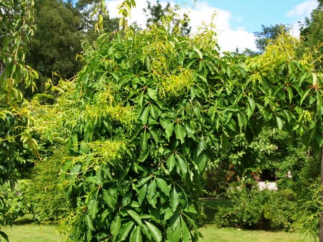 Parthenocissus quinquefolia 'Engelmannii'