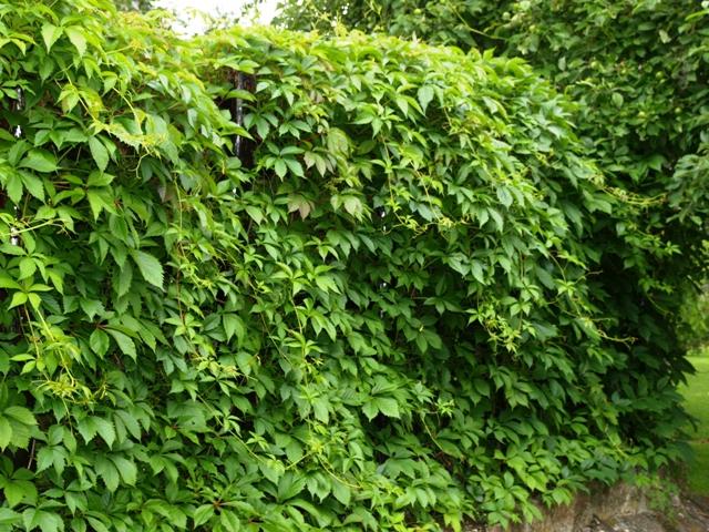 Parthenocissus quinquefolia var.murorum