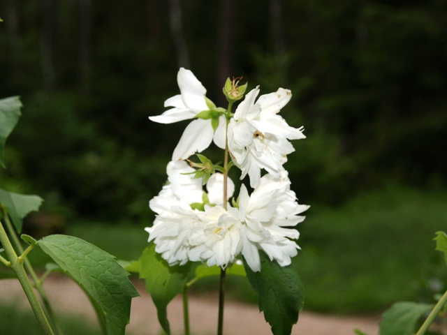 Philadelphus hybrida 'Minnesota Snowflake'