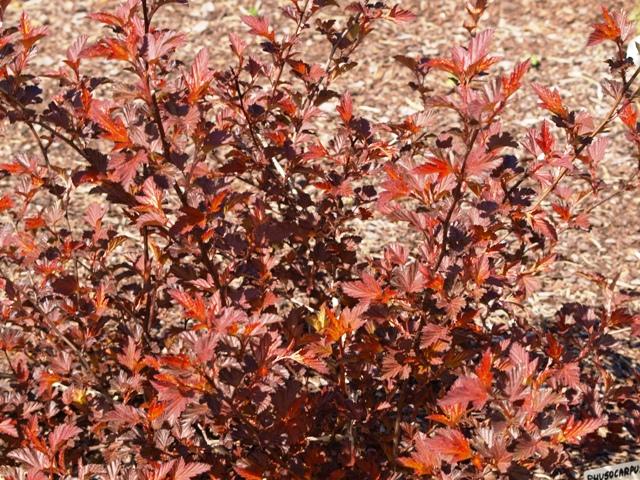 Physocarpus opulifolius 'Diable D'or®'