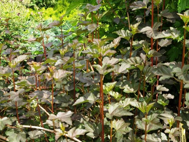 Physocarpus opulifolius 'Diabolo®'