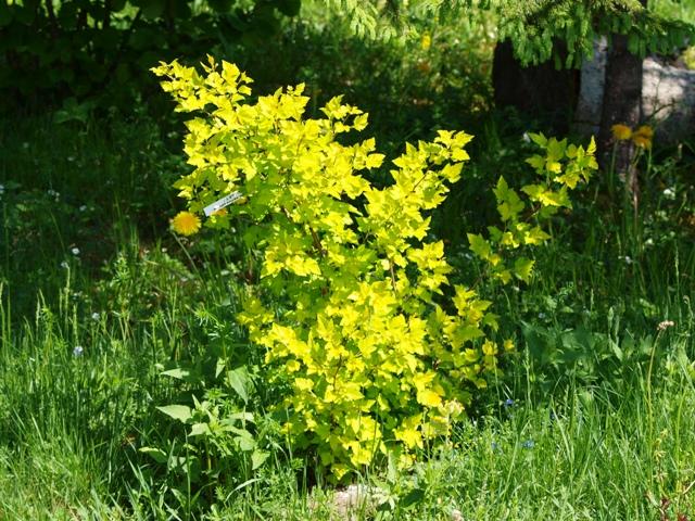 Physocarpus opulifolius 'Nugget'