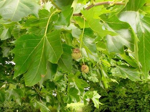 Platanus x hispanica(P. x acerifolia)