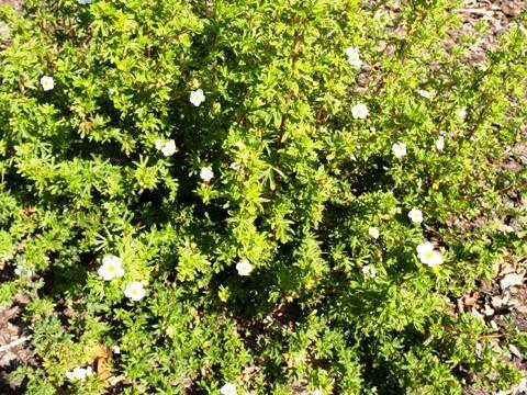 Potentilla fruticosa 'New Dawn'
