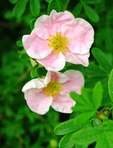 Potentilla fruticosa 'Pink Queen'