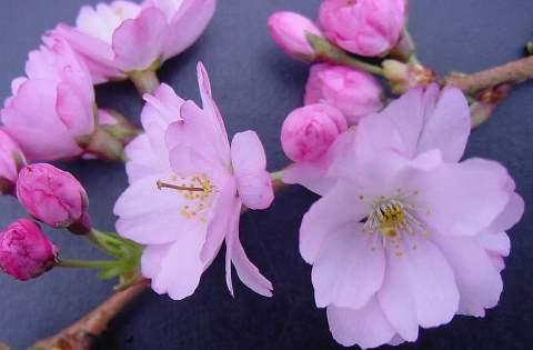 Prunus hybrida 'Accolade'