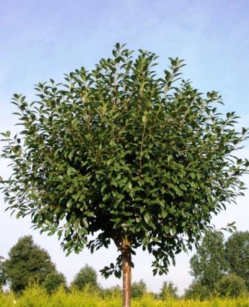 Prunus cerasus 'Umbraculifera'