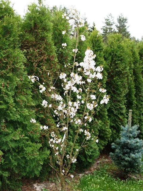 Prunus hybrida 'Pandora'