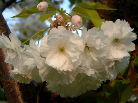 Prunus serrulata 'Shimidsu'
