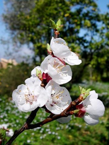 Prunus armeniaca 'mix'