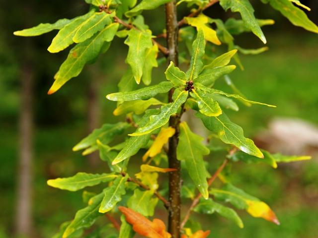 Quercus robur 'Antoni Medrzycki'
