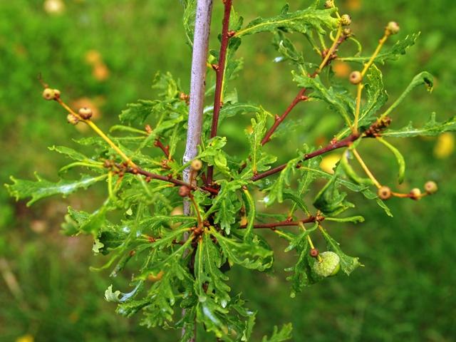 Quercus robur 'Hentzei'