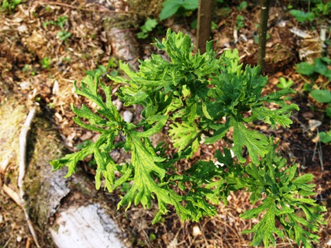 Quercus robur 'Irtha'