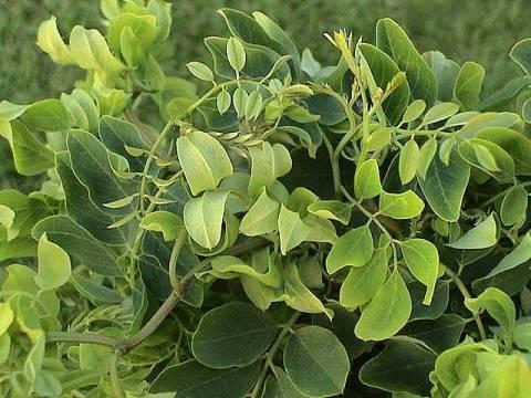 Robinia pseudoacacia 'Twisty Baby®'