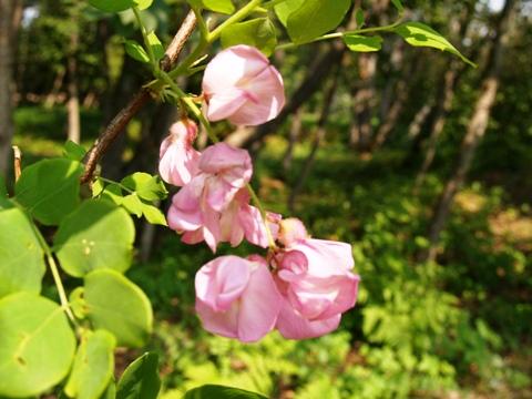 Robinia hispida (R. elliottii)