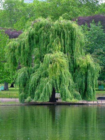 Salix x sepulcralis (S. alba) 'Chrysocoma (Tristis)'