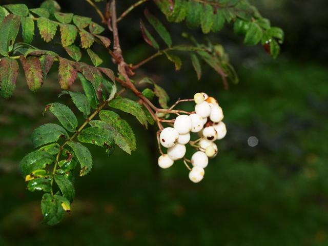 Sorbus hyb. 'White Swan'
