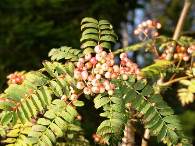 Sorbus hyb. 'Pink Veil'