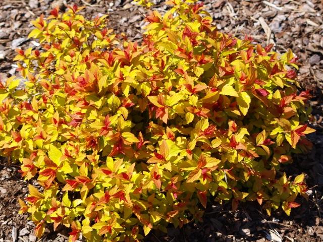 Spiraea japonica 'Magic Carpet'