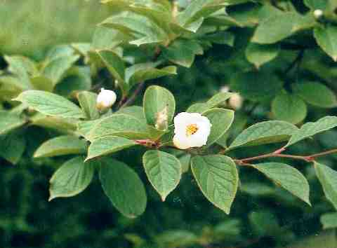 Stewartia pseudocamellia