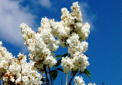 Syringa vulgaris 'Miss Ellen Willmott'